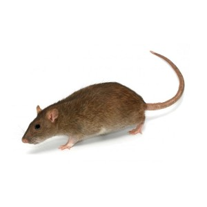 London rat pest control