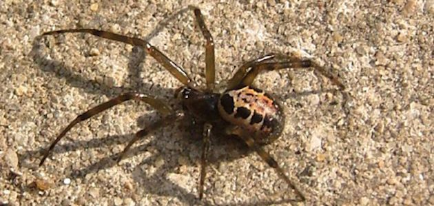 spider pest control emergencies