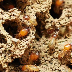 termite poison Guaranteed Results - Call Now