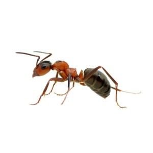 Common Ant