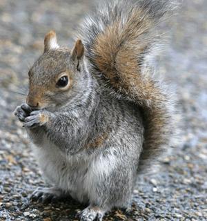 Squirrel Control in London