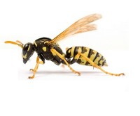 Wasp-removal-london