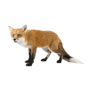 Common Fox