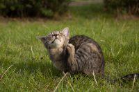 cat-scratching-fleas