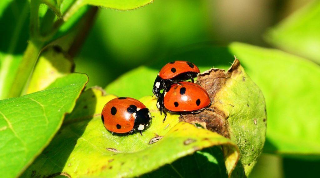 Diatomaceous Earth & Carpet Beetles