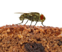 fly-on-food
