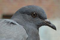 getting rid of pigeons uk