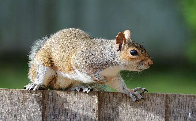 london urban squirrel on a fence