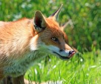 London fox posing danger to pets