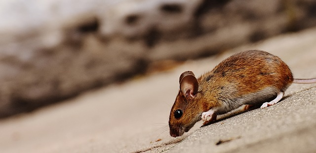 rodent causing pest problems
