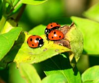 ladybirds are not pests