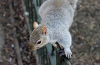 grey squirrel in london park