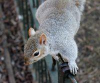 grey squirrel in london park
