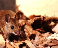 image of a mouse