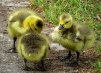 signs of spring ducklings