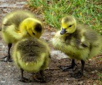signs of spring ducklings