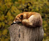 london urban fox sleeping