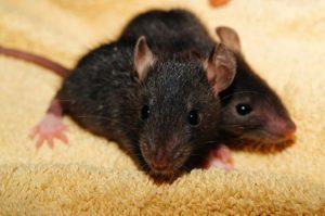 london rat babies