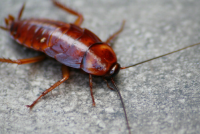 cockroaches-in-the-home
