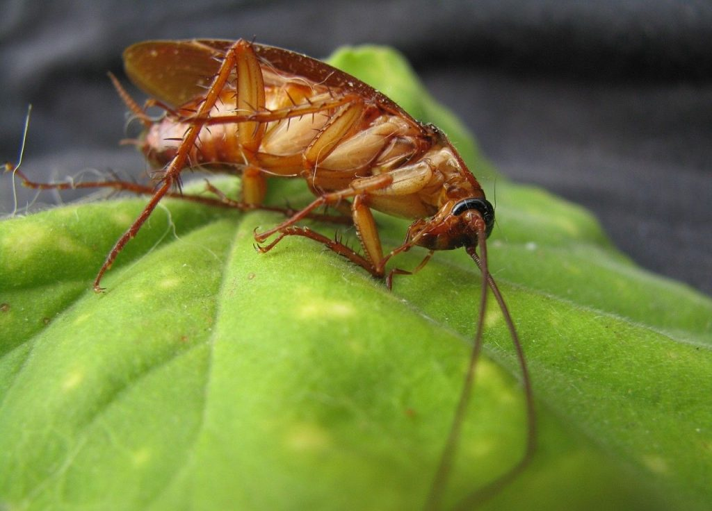 natural pest control tips for cockroaches