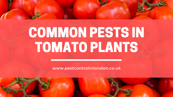 Common Pests in Tomato Plants
