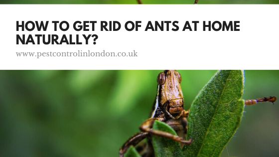 How To Get Rid Of Ants At Home Naturally_