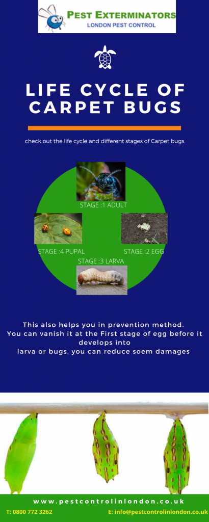 Life cycle of carpet Bugs