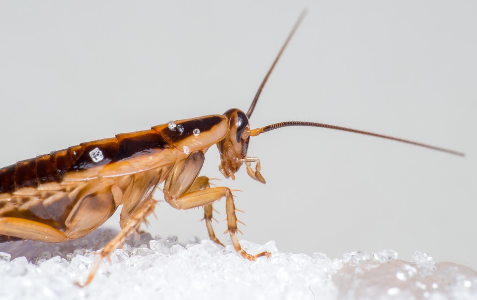 Natural best Home remedies for cockroach infest