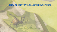 How to Identify a False widow spider