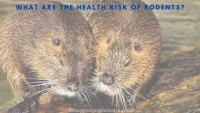 What are the health risk of Rodents_ (1)