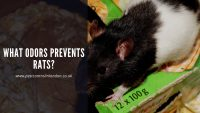 What odors Prevents Rats_