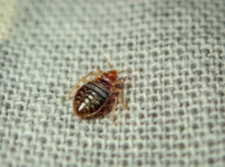 identify bed bugs infestation