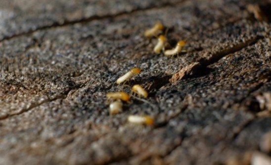 wood termite control