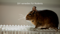 DIY remedies for Rodents