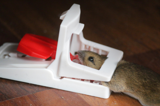 Traps for rodents