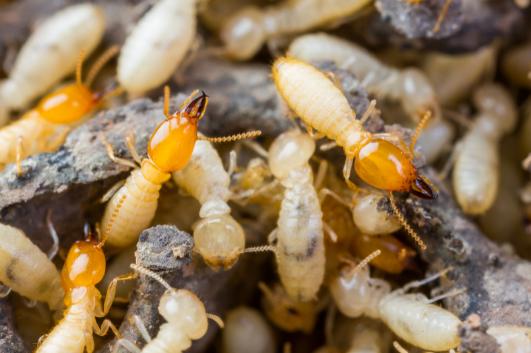 self termite control