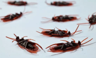 Cockroaches have Cannibalistic Tendencies