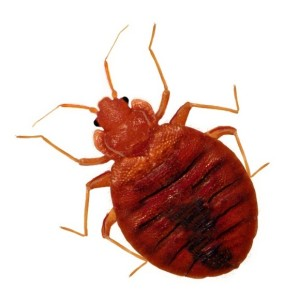 Bedbug Control in London