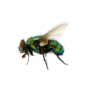 Flies and Fly Control in London