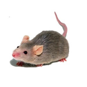 Mouse and Mice Control in London