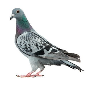 Pigeon Control in London
