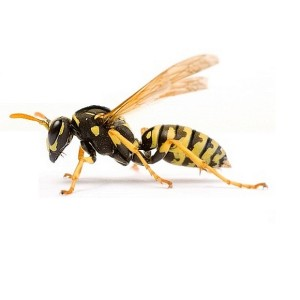 Wasp Control London | Fast Wasps Nest Removal in London