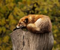 london urban fox sleeping