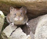 rodent on london property