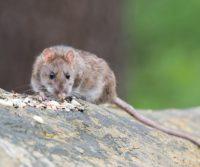 brown rat control london