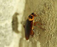 cockroach bites symptoms